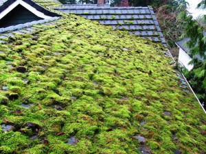 moss on a tile roof